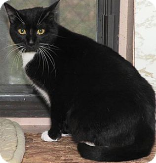 Domestic Shorthair Cat for adoption in Westville, Indiana - Daisey May
