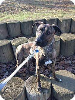 Greyhound/Mountain Cur Mix Dog for adoption in oxford, New Jersey - Cali