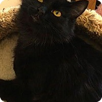 Domestic Longhair Cat for adoption in Weimar, California - Chloe