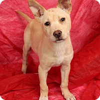 Adopt A Pet :: Alex Shepherd - St. Louis, MO