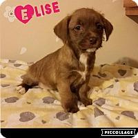 Adopt A Pet :: Elise - Brea, CA