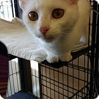 Adopt A Pet :: Cotton - Covington, KY