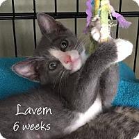 Adopt A Pet :: Laverne - Island Park, NY