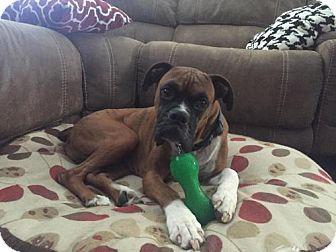 Boxer Dog for adoption in Hurst, Texas - Dakota