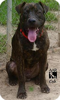 Pit Bull Terrier Mix Dog for adoption in Tomball, Texas - Cole