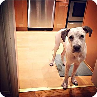 Great Dane/Pointer Mix Puppy for adoption in Santa Monica, California - Seymour