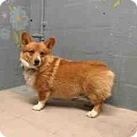 Adopt A Pet :: Purebred Pembroke Corgi - Lomita, CA