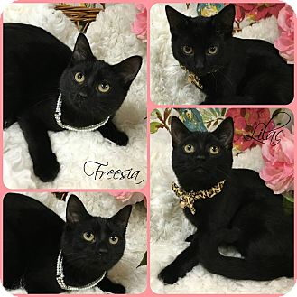Domestic Shorthair Kitten for adoption in Joliet, Illinois - Freesia