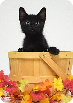 Domestic Shorthair Kitten for adoption in Dublin, California - Spruce