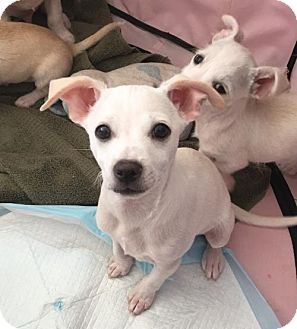Terrier (Unknown Type, Medium)/Chihuahua Mix Puppy for adoption in Mission viejo, California - Jack
