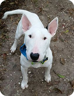 Bull Terrier Dog for adoption in Houston, Texas - Nelson