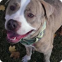 American Staffordshire Terrier Mix Dog for adoption in Salt Lake City, Utah - Nayan
