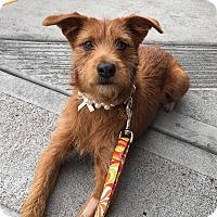 Adopt A Pet :: Ginger 2 - Las Vegas, NV