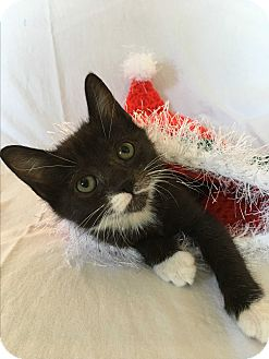Domestic Shorthair Kitten for adoption in Wayne, New Jersey - Jackie