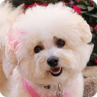 Bichon Frise Mix Dog for adoption in La Costa, California - Sassy