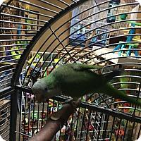 Adopt A Pet :: Ryce - Punta Gorda, FL