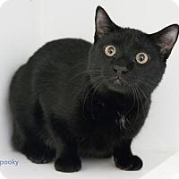 Adopt A Pet :: Spooky - Merrifield, VA