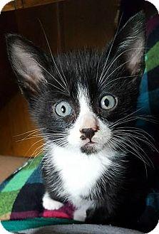 Domestic Shorthair Kitten for adoption in Bellingham, Washington - Harris
