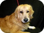 Golden Retriever Mix Dog for adoption in East Hartford, Connecticut - LEO  in ct