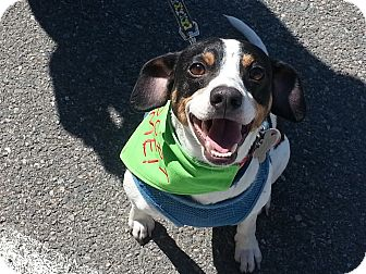 Rat Terrier/Beagle Mix Dog for adoption in Richmond, Virginia - JJ
