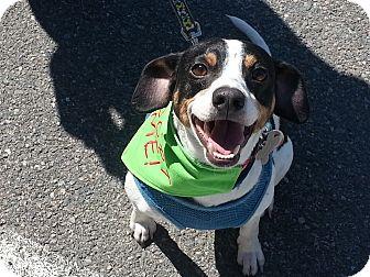Jj Adopted Dog Richmond Va Rat Terrier Beagle Mix