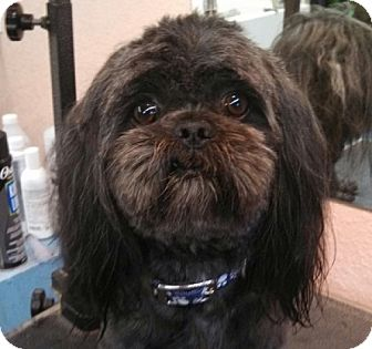 Shih Tzu Mix Dog for adoption in Seattle, Washington - Levi