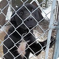 Adopt A Pet :: Thor - latrobe, PA