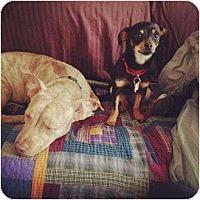 Adopt A Pet :: Gretyl - Los Angeles, CA