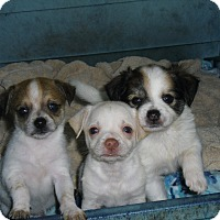 Adopt A Pet :: MALTESE MIX PUPPIES - Odessa, FL