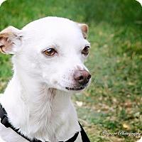 Adopt A Pet :: Cowboy 1 - Las Vegas, NV