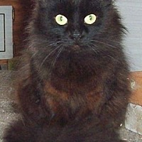 Domestic Longhair Cat for adoption in Nepean, Ontario - MELLOW-D
