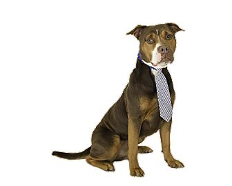 Pit Bull Terrier Dog for adoption in St. Cloud, Florida - Lug Nut