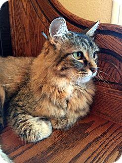Domestic Longhair Cat for adoption in North Las Vegas, Nevada - PJ