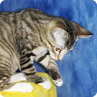 Domestic Shorthair Kitten for adoption in South Bend, Indiana - Lizbeth