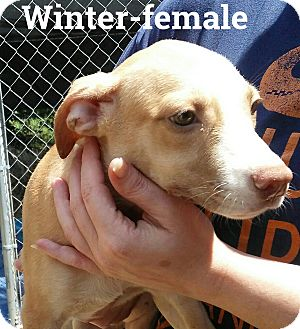 Catahoula Leopard Dog/American Pit Bull Terrier Mix Puppy for adoption in Hagerstown, Maryland - Winter