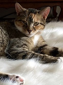 Domestic Shorthair Kitten for adoption in Beaufort, South Carolina - Winnie