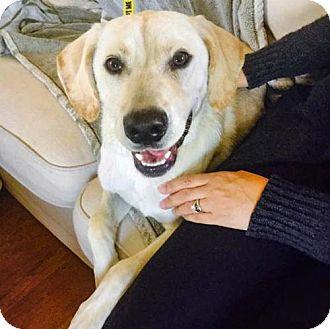 Labrador Retriever Dog for adoption in Arlington, Virginia - Otto - ADOPTION PENDING!!