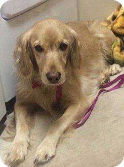 Cocker Spaniel Dog for adoption in Boston, Massachusetts - Blondie