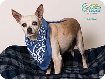 Chihuahua Dog for adoption in Camarillo, California - *BANJO