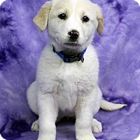 Adopt A Pet :: GUADALUPE - Westminster, CO