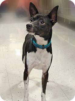 Rat Terrier Mix Dog for adoption in Howell, Michigan - Jackson
