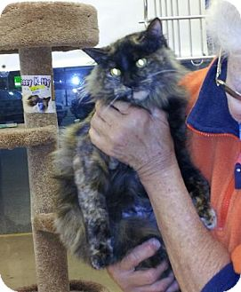 Maine Coon Cat for adoption in Daleville, Alabama - Jane