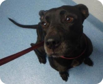 American Pit Bull Terrier Mix Dog for adoption in Gainesville, Florida - Scarlett