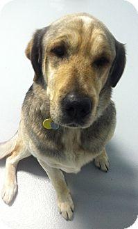 Shepherd (Unknown Type)/Shar Pei Mix Dog for adoption in Muskegon, Michigan - Rudo