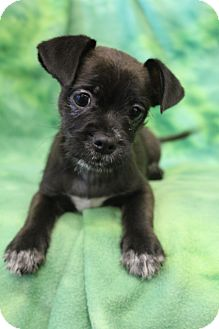 Pug/Dachshund Mix Puppy for adoption in Bedminster, New Jersey - Finchley