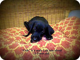 Labrador Retriever Mix Puppy for adoption in Gadsden, Alabama - Cole