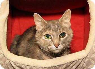 Domestic Shorthair Cat for adoption in Milford, Massachusetts - Lena