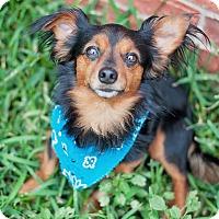 Adopt A Pet :: Little Mister - Kingwood, TX