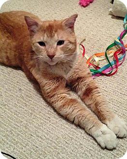 Domestic Shorthair Cat for adoption in Burlington, Ontario - Freddy