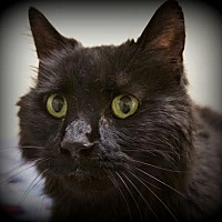 Domestic Longhair Cat for adoption in Montclair, New Jersey - Black Beauty